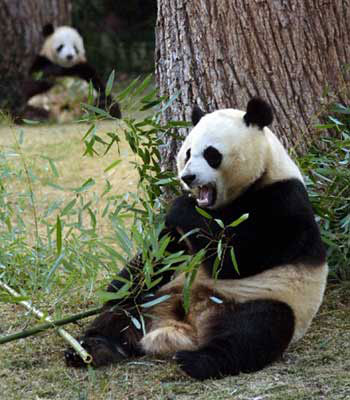 The panda bear in relax and eat of sweet young bamboo leaves