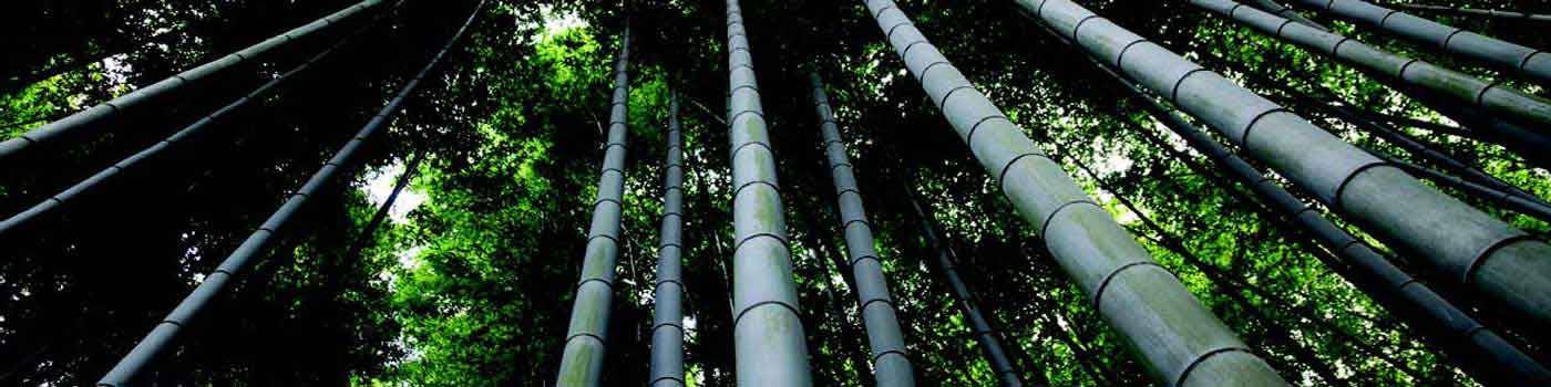 Bamboo Phyllostachys pubescens ( Moso)